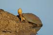 Helmeted terrapin (Pelomedusa subrufa)