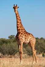 Girafe taureau