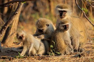 Vervet monkeys (Cercopithecus aethiops) grooming