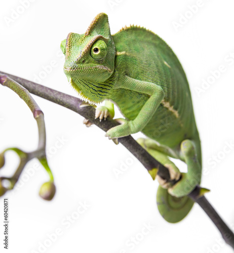 green chameleon - Chamaeleo calyptratus on a branch