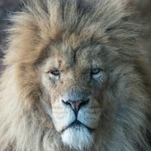 Homme Lion Portrait