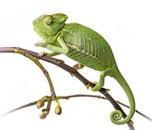 Zielony kameleon - Kameleon jemeński na gałęzi