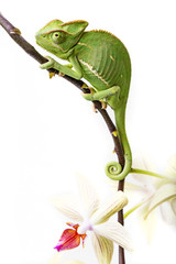 chameleon - Chamaeleo calyptratus and orchid