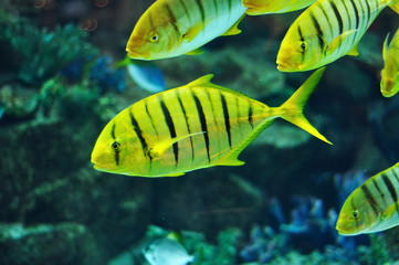 Yellow and black striped fish in salwater aquarium