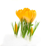 yellow crocus flowers
