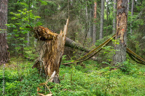 Broken twisted tree after hurricane