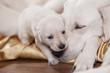 white labrador retriever mother with puppy - 60428698