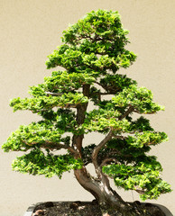 Beautifull small bonsai tree in lights and shadows