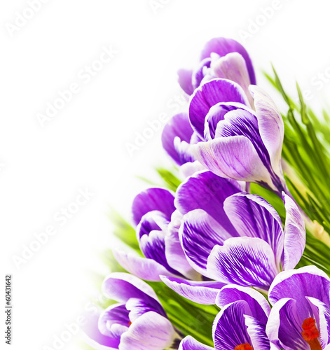 Purple crocus white background