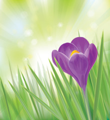 Vector spring crocus isolated on spring background.