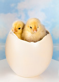 Twin newborn easter chicks