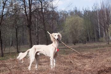 White saliki and stick