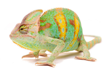 One Yemen chameleon