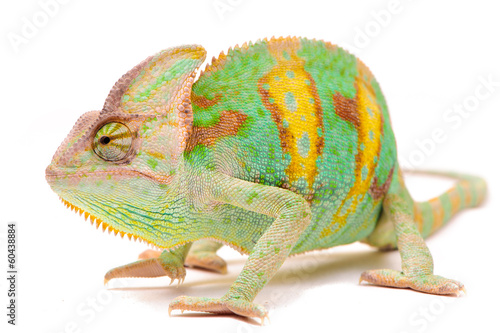 Staande foto Kameleon One Yemen chameleon