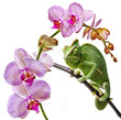 green chameleon  and pink orchid