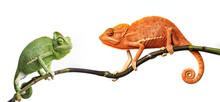 Chameleon - Kameleon jemeński na gałęzi