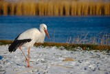Stork in Winter