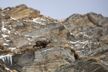 Isolated ibex deer long horn sheep Steinbock