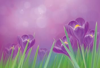 Vector spring crocuses flowers  on violet  background.