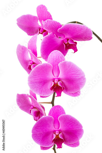 Orchid radiant flower isolated