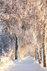 Snowy, Sunny Birch Path III