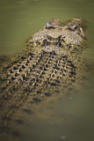 Saltwater crocodile floating poster
