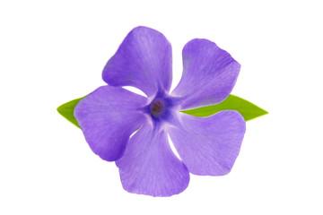 flower periwinkle
