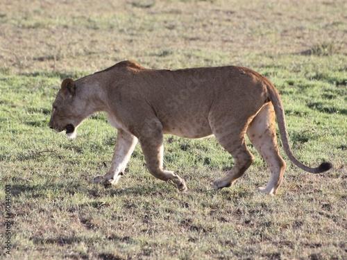 Lionne sauvage