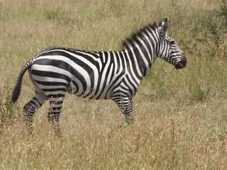 zebre solitaire