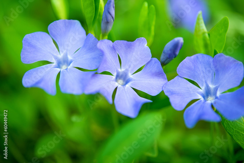 periwinkle flowers growing