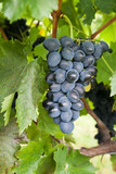 Bunch of ripe black grapes on vine with selective focus