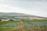 Cabbage field with hills and blue sky