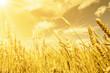 Wheat ears under golden shining