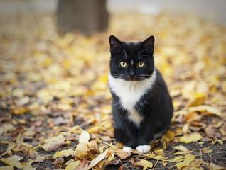 Черный кот с белым воротником в осеннем парке
