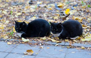 Кошки близнецы