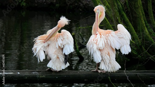 Pelicans near a lake