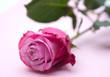 Eine rosa Rose