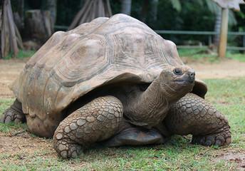 Aldabra Giant Tortoise, La Vanille Reserve, Mauritius, Africa