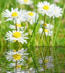 Gänseblümchen über spiegelndem Wasser