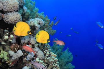 Colorful fish in the reef of the red sea