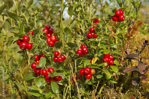 Bush of wild cowberries.