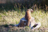 Banded mongoose sitting on dead tree stump