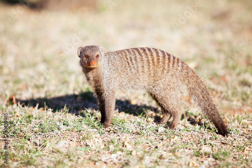Alert banded mongoose in the wild