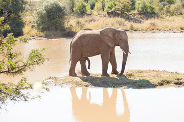 Single young elephant bull standing on small island