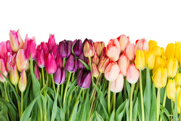 Border  of fresh tulips flowers