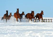 Troupeau de chevaux de course sur un terrain enneigé