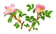 Rameaux d'églantiers fleuris