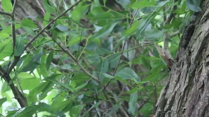 Wiedehopf füttert eine Eidechse seinen Jungtieren