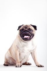Pug puppy on an isolated background