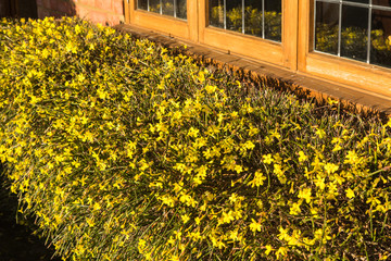 Yellow Winter Jasmine
